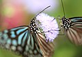 Ceylon Blue Glassy Tiger - Ideopsis similis - 琉球浅葱斑(リュウキュウアサギマダラ) (8899323029).jpg
