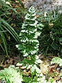 Chaerophyllum temulum leaf (05).jpg