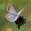 Chalk hill blue (Polyommatus coridon) male Hungary.jpg