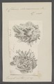 Chama damaecornis - - Print - Iconographia Zoologica - Special Collections University of Amsterdam - UBAINV0274 077 01 0011.tif