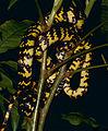 Checkerbelly Snake (Siphlophis cervinus) (10673721404).jpg