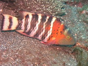 Description de l'image Cheilinus fasciatus.JPG.