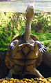 Chelodina longicollis (snake-necked turtle) (15535435709).jpg