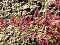 Chenopodium polyspermum sl9.jpg