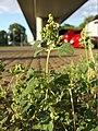 Chenopodium vulvaria sl19.jpg