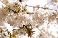 Cherry blossom (4507935882).jpg