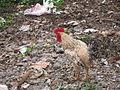 Chicken - കോഴി 08.JPG