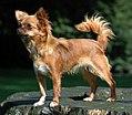 Chihuahua1 bvdb.jpg