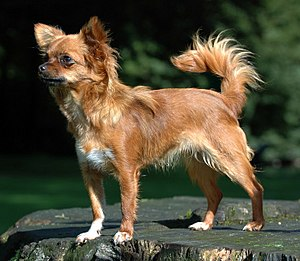 Chihuahua (dog) - A purebred Chihuahua showing the classic features of the breed