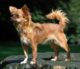 Chihuahua (dog) Dog breed