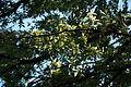 Chinese elm (Ulmus parvifolia) (22420172352).jpg