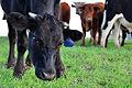 Chino hills state park cows.jpg