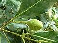 Chionanthus foveolatus subsp major, vrug, Manie vd Schijff BT, a.jpg