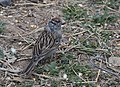 Chipping Sparrow (33162949453).jpg