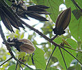 Chiranthodendron pentadactylon, Monkey-hand pods (9906043734).jpg