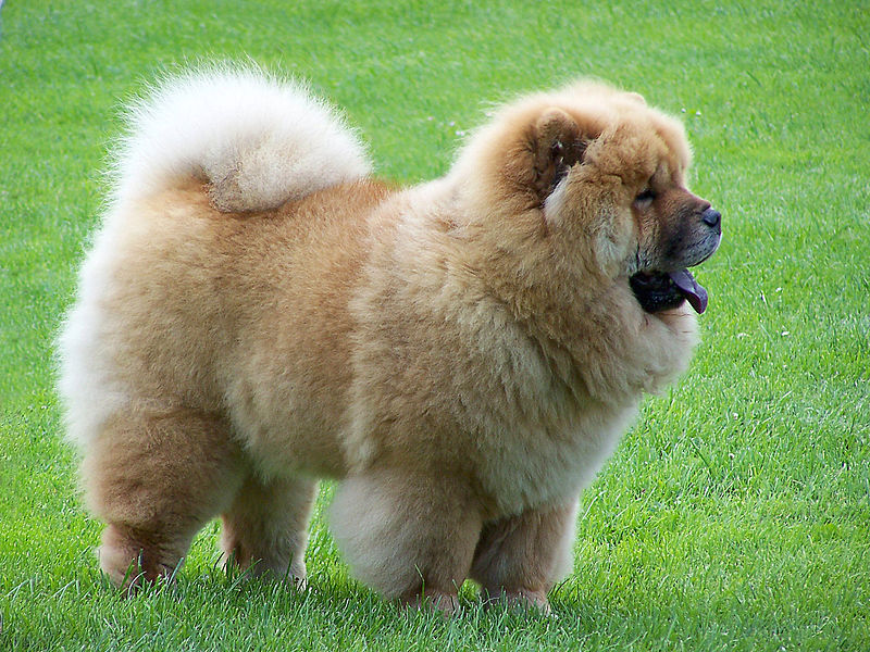 Distinctive Longhaired Dog Breeds With Bushy Curled Tails