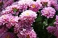 Chrysanthemum Padre 2zz.jpg