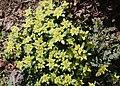 Chrysosplenium nagasei s11.jpg