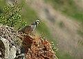 Chukar Partridge (Alectoris chukar) (23098186135).jpg