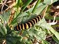 Cinnabar moth caterpillar 01.jpg