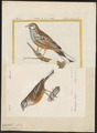 Citrinella cia - 1700-1880 - Print - Iconographia Zoologica - Special Collections University of Amsterdam - UBA01 IZ16100255.tif