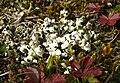 Cladonia convoluta 281007.jpg