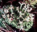 Cladonia cristatella f. (12).jpg