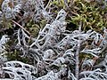 Cladonia rangiferina 107994701.jpg