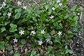 Claytonia sibirica (Montiaceae) (26796833214).jpg