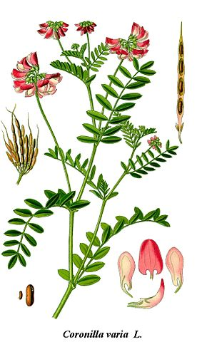 Cleaned-Illustration Coronilla varia.jpg