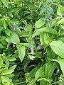 Clematis albicoma hybrid - Flickr - peganum (2).jpg
