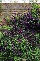 Clematis viticella 'Étoile Violette' at Boreham, Essex, England.jpg