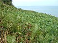 Cliff Top Bracken - geograph.org.uk - 1473281.jpg