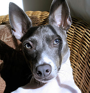 "Blue hair - An example of a blue coated rat terrier. Note the pale, or ""diluted,"" pigment of the nose and eyes."