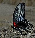 Close wing position of Papilio memnon Linnaeus, 1758 – Great Mormon WLB 1E7A1712.jpg