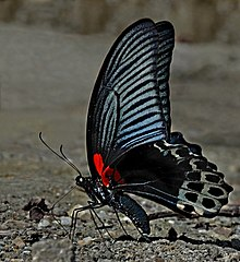 Close wing position of Papilio memnon Linnaeus, 1758 – Great Mormon WLB 1E7A1712.jpg