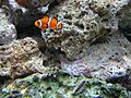 Clown fish (1).jpg