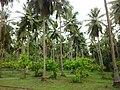 Coconut Plantation in Kalathur.jpg