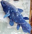 Coelacanth1.JPG
