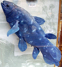 Den blå fisk, Latimeria chalumnae. Model i Oxford University Museum of Natural History.