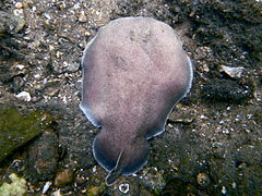 Coffin ray (Hypnos monopterygius), Parsley Bay, Sydney.jpg