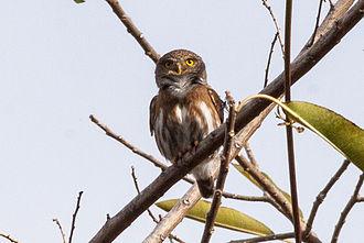 Colima pygmy owl - Image: Colima Pygmy Owl