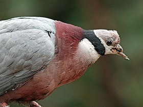 Collared Imperial Pigeon RWD4.jpg