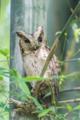 Collared Scops Owl Or Burmese Scops Owl.png