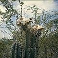Collectie Nationaal Museum van Wereldculturen TM-20029859 Dierenschedelkoppen op cactussen Curacao Boy Lawson (Fotograaf).jpg