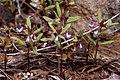 Collinsia parviflora - Flickr - aspidoscelis (3).jpg