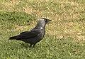 Coloeus monedula - Western Jackdaw 04.jpg