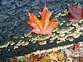 Colorful maple leaf laying on a log (Credit- Alvin Robinson) (6555927275).jpg