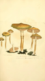 Coloured Figures of English Fungi or Mushrooms - t. 173.png