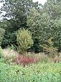 Colourful Foliage in Long Acre Wood - geograph.org.uk - 971942.jpg
